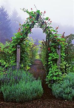 Scarlet Emperor beans climb up the arbor, and clumps of lavender grow at its feet.