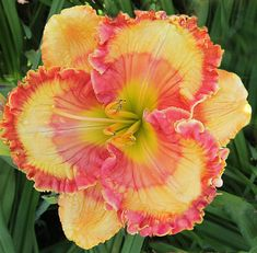 Daylily, Hemerocallis 'Check Me Out' (Harris, 2013)