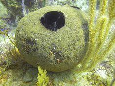 The Sponge Guide: Image # 72: Spheciospongia vesparium