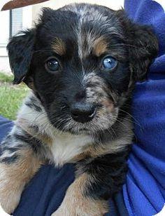 Sanford, FL - Dachshund/Catahoula Leopard Dog Mix. Meet Emmylou, a puppy for adoption. http://www.adoptapet.com/pet/12832311-sanford-florida-dachshund-mix