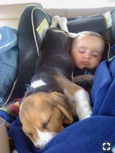 Are you interested in a Beagle? Well, the Beagle is one of the few popular dogs that will adapt much faster to any home. Whether you have a large family, p Cute Beagles, Cute Puppies, Dogs And Puppies, Dog Sleeping Positions, Sleeping Dogs, Baby Beagle, Beagle Puppy, Baby Animals, Funny Animals