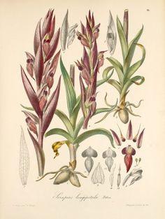 Serapias vomeracea (Burm. f.) Briq.  (Originally Serapias longipetala) 1868