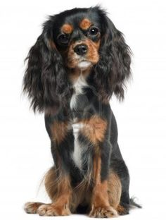 Cavalier King Charles Spaniel Cavaliers actually became quite rare after the house of Stuart fell. It became a liability to own a Cavalier King Charles dog (the Tudors favored the Pug), as with many breeds, it was Queen Victoria brought the breed back. Although the breed looks quite different that it did in the days of King Charles, it is still one of the most popular breeds in Great Britain. http://www.akc.org/breeds/cavalier_king_charles_spaniel/did_you_know.cfm