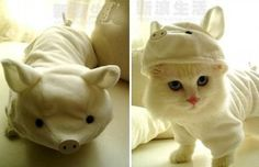 Kitten in disguise! #racefortherescues #nov10 #rescuetrain #rescuetrainoc #rescuedogs #rescue #catdressup #kittendressup #petdressup #petcostume #costumecontest #cutecat #whitecat #pig #adorable #kitty #adopt #donate #sponsor #oc #prettyeyes #cat #kittylove