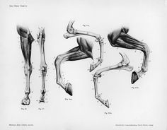 Horse anatomy by Herman Dittrich - hind legs. Description from pinterest.com. I searched for this on bing.com/images