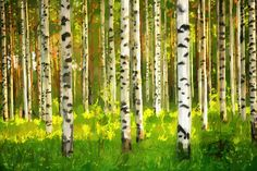 Birch Forest - Oil Painting - Wall Mural & Photo Wallpaper - Photowall