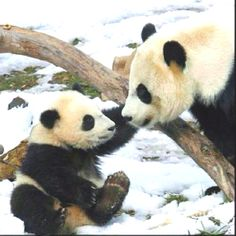 Kin selection- The idea that evolution has selected altruism toward one's close relatives to enhance the survival of mutually shared genes. In this photograph, the mother panda is with her baby panda and in the concept of kin selection, if anything bad were to happen involving both herself and her cub, she would save her cub first because the passing down of her genes is more important than saving herself.