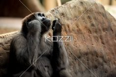 young ape wondering - Young gorilla looking to sky and wondering.