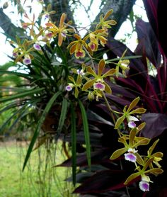 Encyclia tampensis or Tampa Butterfly Orchid.Native to Florida and the Bahamas.