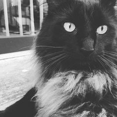 Milo. Cat. Black. brown. gray. fluffy. Adopted.