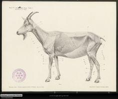 Anatomy of a goat, from a manual for artists, 1901. Anatomie von Hirsch, Reh und Ziege - Digitale Sammlungen der Bauhaus-Universität Weimar