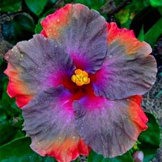 Big 24 Colors Dinnerplate Hibiscus Perennial Flower home& garden plant Inch Flowers Hibiscus Plant, Hibiscus Flowers, Exotic Flowers, Tropical Flowers, Amazing Flowers, Beautiful Flowers, Flowers Perennials, Planting Flowers, Flower Seeds