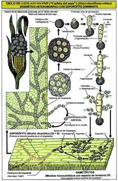 Ustilsgo maydis (Basidiomycetes).JPG (1102×1680)