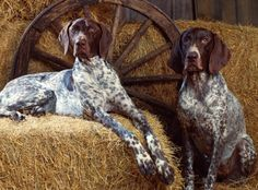 pin said blue tick hound, which is wrong, these are a fine pair of Liver and White Pointers or German Shorthair Pointers, (bird dogs). Blue Tick Hound has a thicker body with shorter legs normaly some tan on snout, ears longer and not as perked.