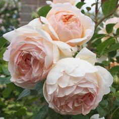 Jude the obscure - English Rose