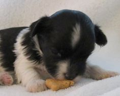 Angel Doll Tiny Toy Designer Hybrid Puppies ( Puppies For Sale ) ''Alex'' Puppies    D.O.B. 7 - 16 - 12 Female Two Black And   White With Gold Detailing  Exp.4 to 5 lb