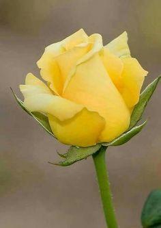 Rosa amarilla  Google+