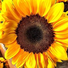 #Repost @jeffkenipulver  Just love sunflowers. I took this photo while shopping at Whole Foods the other day. # #sunflower #nature #summer #light #energy #inspiration  #livelifenow #spiritjunkie  #stepping #walking #fitness #dedication #instanyc #flower #flowerporn #igersoftheday #staticgram #jpkcwelcometomyworld #summer2015 #summerfun