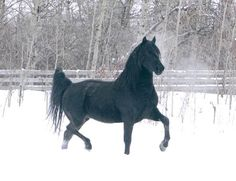 """Morgan horse.....reminds me of """"Empy"""" !"""