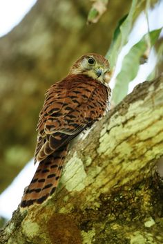 Mauritius Kestrel (Falco punctatus) is a bird of prey from the family Falconidae endemic to the forests of Mauritius, where it is restricted to the southwestern plateau's forests, cliffs, and ravines. It is the most distinct of the Indian Ocean kestrels.