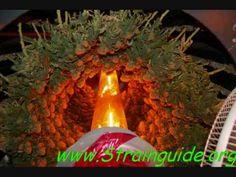 Cannabis grow Keep on Spinning hydroponics. Pretty cool contraption!  CFL-GrowLight.com
