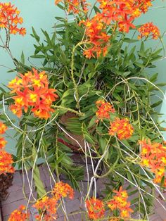 """Reed Orchid (epidendrum radicans): You have a beautiful """"Reed Orchid. Orchids Garden, Orchid Plants, Air Plants, Types Of Orchids, Types Of Flowers, Growing Flowers, Planting Flowers, Ground Orchids, Orquideas Cymbidium"""