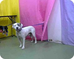 San Bernardino, CA - Pit Bull Terrier Mix. Meet URGENT ON 7/06/2015, a dog for adoption. http://www.adoptapet.com/pet/13338461-san-bernardino-california-pit-bull-terrier-mix