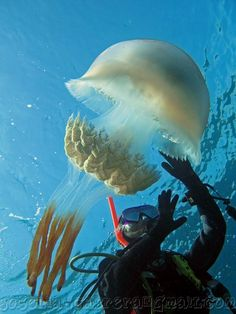 Amazing jellyfish makes humans look so clumsy,i really think these higher evolved ocean creatures just laugh at us Underwater Creatures, Ocean Creatures, Underwater World, Underwater Images, Funny Animal Videos, Funny Animal Pictures, Funny Animals, Medusa, Surf