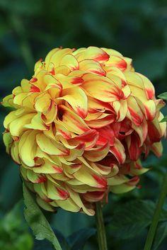 Flowers And Feelings All Flowers, Exotic Flowers, Amazing Flowers, Beautiful Flowers, Exotic Plants, Dahlia Flower, My Flower, Flower Power, Zinnias