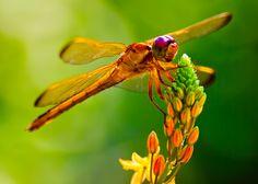 Yellow-Orange Dragonfly