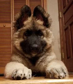 Ruckus - our Shiloh Shepherd puppy Titanium Shilohs. Sherwood, OR