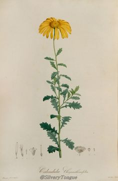 Calendula chrysanthemifolia Malmaison.