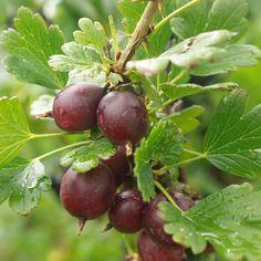 Ribes-uva-crispa 'Captivator' Gooseberry
