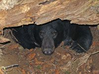 Live cam of a bear in her den with her new cubs.