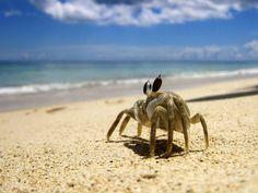 Crab in Mauritius