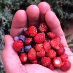 The taste of Cinsault is like that of freshly picked strawberries from my garden. | Tasteful Palate