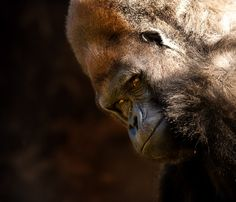 Rigo is a 43 year old western lowland gorilla. Currently the western lowland gorilla is facing extinction due to poaching and loss of habitat.