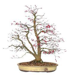 Deshojo maple bonsai tree in commissioned walsall ceramics bonsai pot