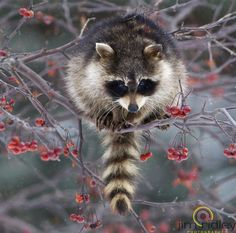 Get the wildlife rehabilitation internship at Greenwood Wildlife Rehab Center in Longmont, Colorado. Massage a raccoon. Nature Animals, Animals And Pets, Baby Animals, Cute Animals, Strange Animals, Cute Raccoon, Racoon, Beautiful Creatures, Animals Beautiful