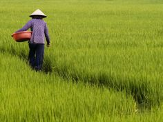 Rice Field Worker Photographic Print by Viviane Ponti at ...