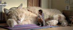 こんな猫が欲しかった!通常比30倍くらい増しの超巨大猫のいる暮らし : カラパイア