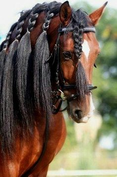 Pura Raza Española stallion, In English: Pure Spanish Horses All The Pretty Horses, Beautiful Horses, Animals Beautiful, Horse Hair Braiding, Horse Mane Braids, Animals And Pets, Cute Animals, Majestic Horse, Tier Fotos