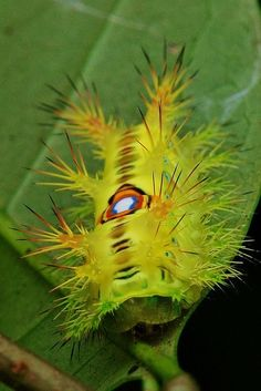 Stinging Nettle Caterpillar (Limacodidae)