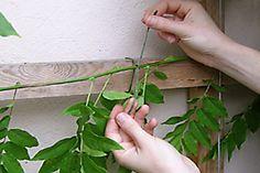 Wisteria: pruning/RHS Gardening