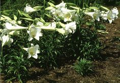 easter liliy | Easter Lily, Perennial of The Day