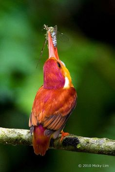 Oriental dwarf kingfisher (Ceyx erithaca) also known as the black-backed kingfisher or three-toed kingfisher with Bug - Yum ! - Photo by: Micky Lim All Birds, Little Birds, Love Birds, Garden Animals, Nature Animals, Exotic Birds, Colorful Birds, Pretty Birds, Beautiful Birds