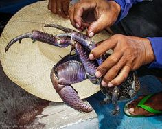 A coconut crab photographed on the island of Himokilan off the coast of Leyte, the Philippines, in 2000.