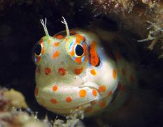 Redspotted Blenny, a very small reef fish Underwater Animals, Underwater Creatures, Underwater Life, Ocean Creatures, Marine Aquarium, Marine Fish, Marine Tank, Colorful Fish, Tropical Fish