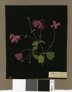 Clematis Crispa (Polyandria Polygynia), from an album (Vol.III, 9); Crisped Virgin's Bower. 1776 Collage of coloured papers, with bodycolour and watercolour, on black ink background