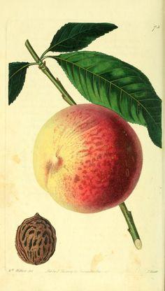 Royal Peach. The Pomological magazine v.2 London;J. Ridgway. Biodiversitylibrary. Biodivlibrary. BHL. Biodiversity Heritage Library